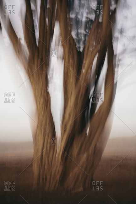 Blurred motion, gnarly Cypress trees at dusk