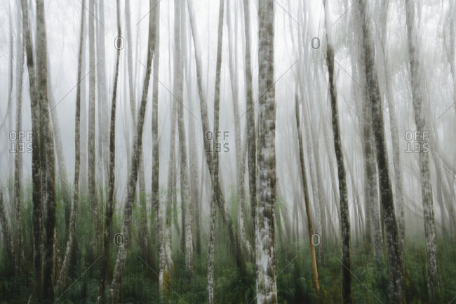 Dense woodland, alder trees with slim straight tree trunks in the mist