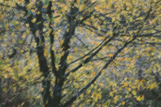 Blurred motion, a tree canopy with yellow leaves in autumn
