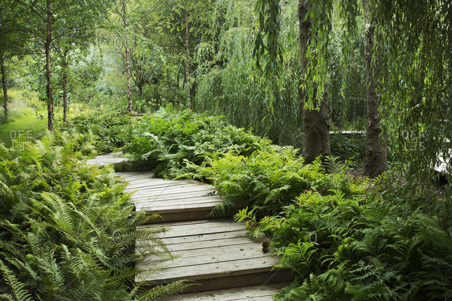 Willow trees and fern growing around curved wooden boardwalk in a garden