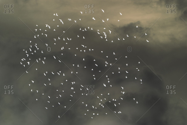 Abstract of starlings flying across overcast sky
