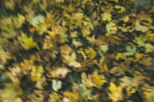 Blurred motion abstract of Big leaf maple leaves in autumn, Acer macrophyllum