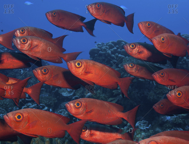 Large school of Crescent tail bigeye with vivid red colored skin