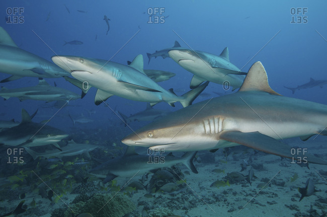 Grey reef sharks in the islands of the South Pacific