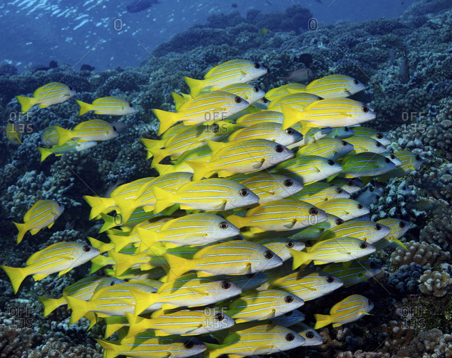 Large school of Blue-line snapper on a coral reef in French Polynesia