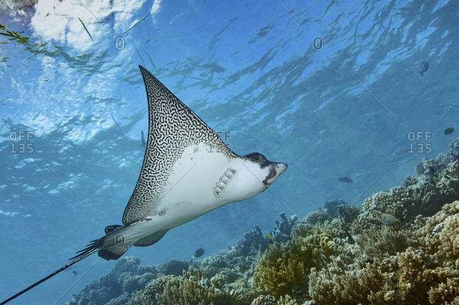 Graceful spotted eagle ray swimming across a coral reef in Fakarava