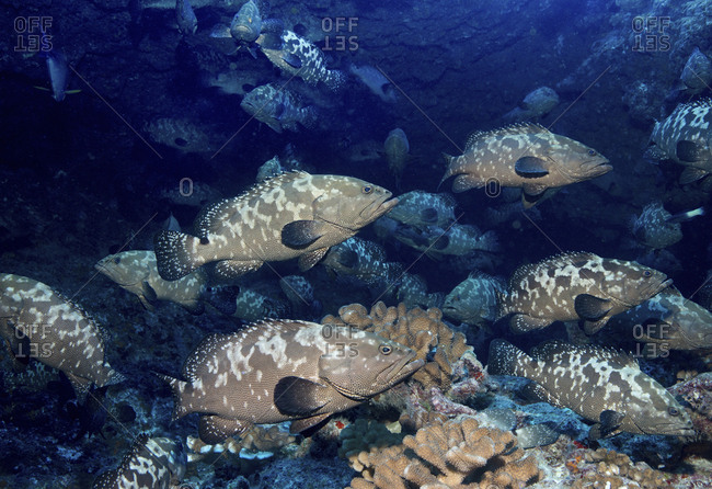 A large school of grouper fish spawning in a pass between islands, French Polynesia