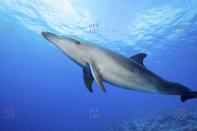 A lone Bottlenose dolphin in the water, French Polynesia
