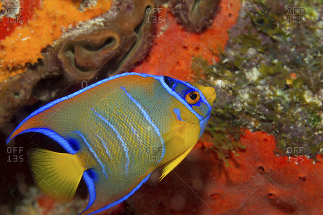 Close-up of a juvenile Queen angelfish on the seabed