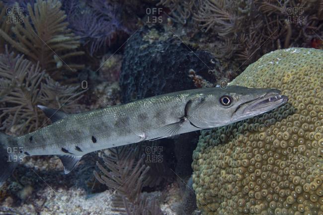 Great barracuda fish, Sphyraena barracuda, on a coral reef