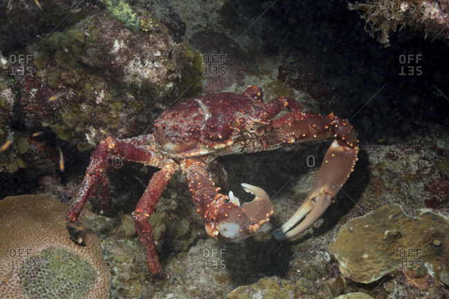 Channel-clinging crab foraging for food in a marine reserve