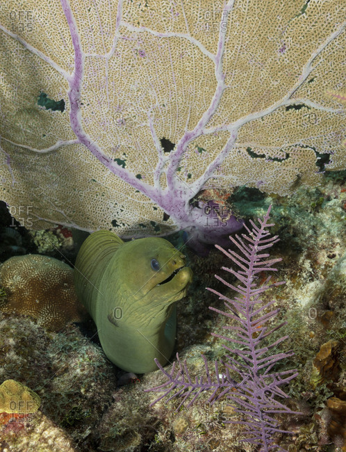 Green moray eel emerging from under a coral fan branch on coral reef