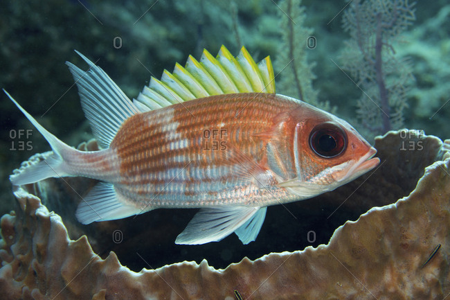 Squirrelfish (Holocentrus adscensionsis) finds shelter near a large Barrel sponge