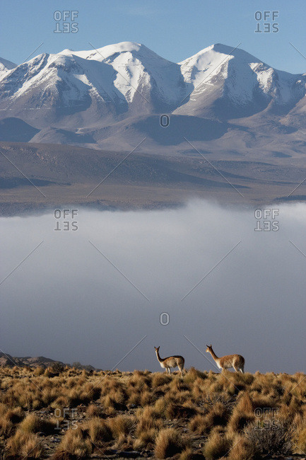 February 21, 2008: Vicunas (Vicugna Vicugna) On The Altiplano With Aucanquilcha Volcano In The Background, Antofagasta Region, Chile