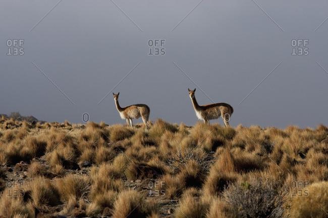 February 21, 2008: Vicunas (Vicugna Vicugna) Near Yuma, Antofagasta Region, Chile