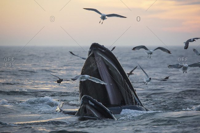 June 17, 2013: Humpback Whale (Megaptera Novaeangliae) And A Flock Of Birds On The Surface Of The Water At Sunset; Massachusetts, United States Of America