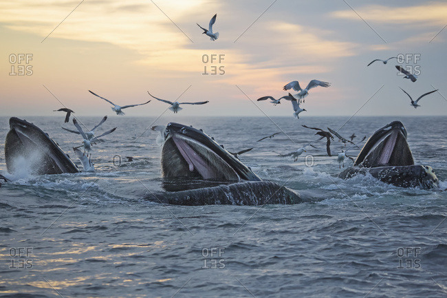 June 17, 2013: Humpback Whales (Megaptera Novaeangliae) And A Flock Of Birds On The Surface Of The Water At Sunset; Massachusetts, United States Of America