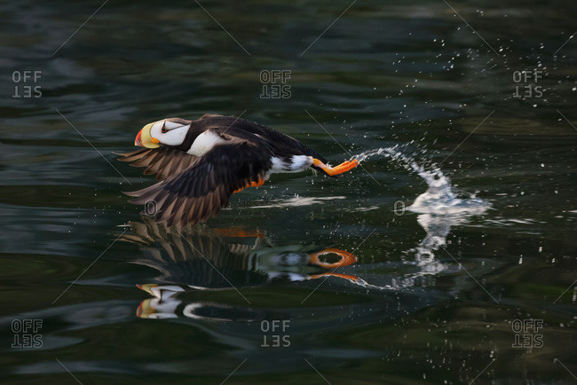 August 14, 2014: Horned Puffin (Fratercula Corniculata) Taking Off, Kodiak Island, Southwest Alaska