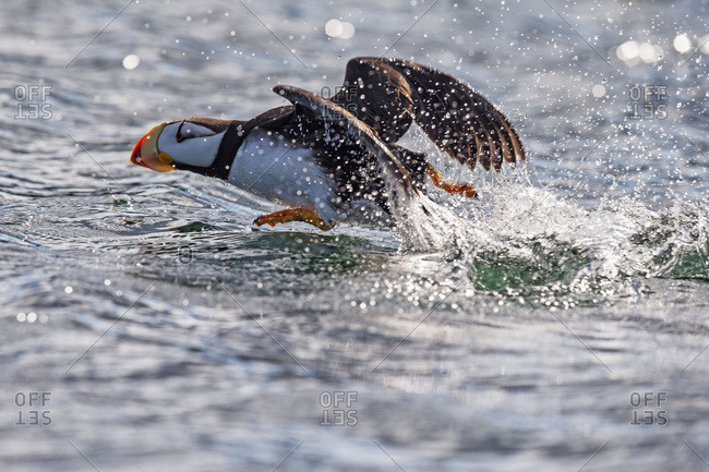 August 18, 2014: Horned Puffin (Fratercula Corniculata) Taking Off, Kodiak Island, Southwest Alaska