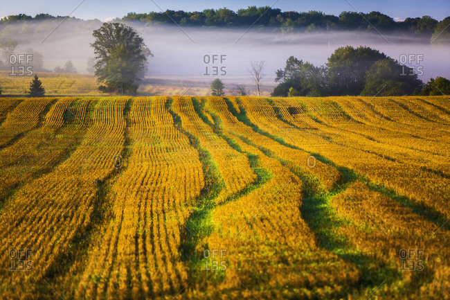 September 18, 2008: Cut Wheat Field On A Misty Morning; Bradford, Ontario, Canada