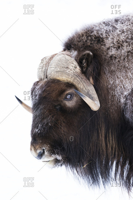 February 7, 2015: Captive: Close Up Profile Of A Musk Ox In Winter At The Alaska Wildlife Conservation Center, South-central Alaska, USA