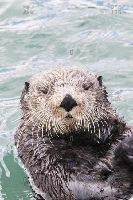 May 11, 2015: Close Up Of A Sea Otter Swimming In Resurrection Bay, Seward, South-central Alaska, USA