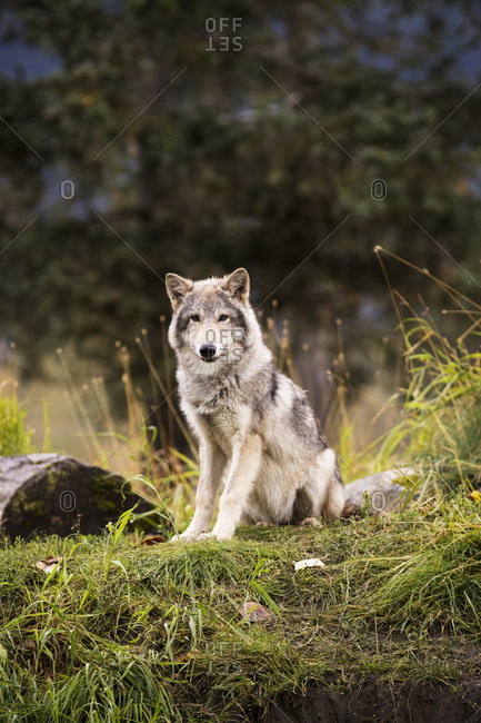 September 12, 2015: Grey Wolf (Canis Lupus) Pup Roams It's Enclosure, Captive At The Alaska Wildlife Conservation Center; Portage, Alaska, United States Of America