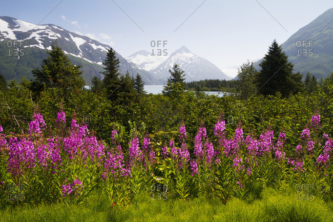 July 30, 2013: Scenic View Of Bard Peak And The Kenai Mountains In Portage Valley With Fireweed In The Foreground, South-central Alaska, USA