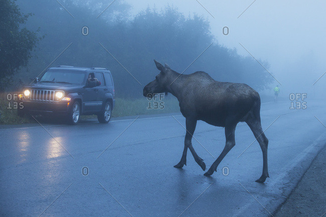September 14, 2013: A Cow Moose Crosses The Road Near Pt. Woronzof In West Anchorage During A Foggy Early Morning In Autumn, South-central Alaska, USA