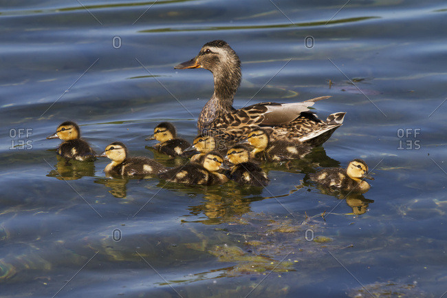 June 14, 2013: A Mallard Hen Duck And Her Brood Of Ducklings At Cheney Lake In Anchorage, South-central Alaska, USA