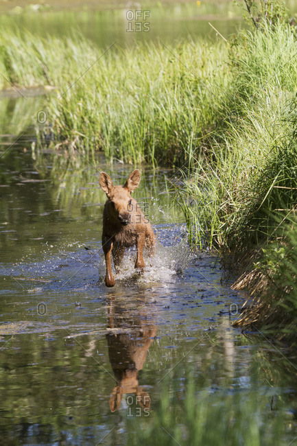 June 14, 2013: Young Moose Calf Running In Cheney Lake, Anchorage, South-central Alaska, USA