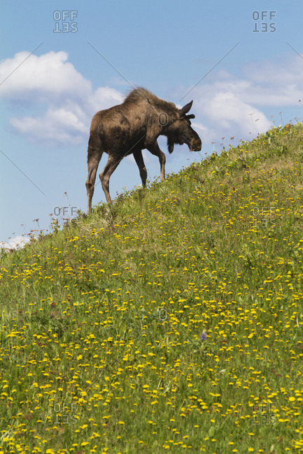 June 7, 2013: Bull Moose On A Hillside In West Anchorage, South-central Alaska, USA