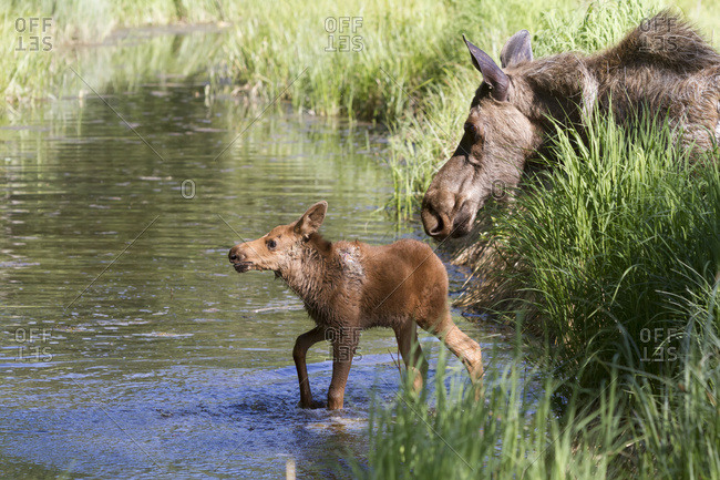 June 14, 2013: Cow Moose And Calf In Cheney Lake, Anchorage, South-central Alaska, USA