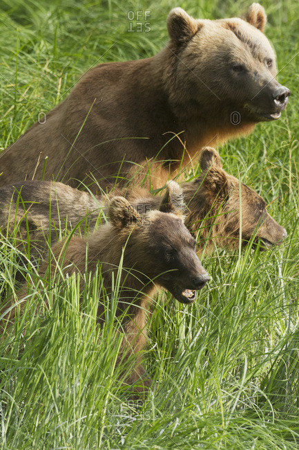July 19, 2013: Brown Bear Sow And Cubs Eating Grass Near The Fish Hatchery At Allison Point, Valdez, South-central Alaska, USA
