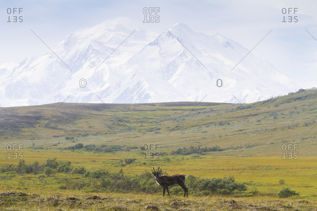 August 13, 2013: Solitary Caribou Feeds On The Tundra With Denali In The Background, Denali National Park, Interior Alaska, USA