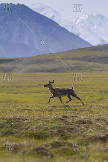 August 13, 2013: Caribou Runs Across The Tundra With Some Of Denali Showing In Background, Denali National Park, Interior Alaska, USA