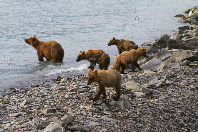 July 19, 2013: Brown Bear Sow With Four 1.5 Year Old Cubs Near The Fish Hatchery, Allison Point, Valdez, South-central Alaska, USA