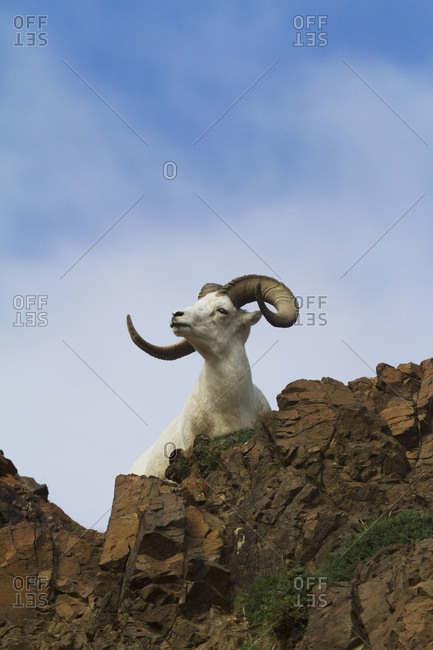 August 14, 2013: Ram Dall Sheep On A Cliff, Denali National Park, Interior Alaska, USA