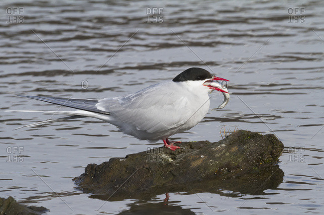 May 13, 2013: Arctic Tern With Large Minnow Sized Fish In Mouth To Feed To A Chick, Potter Marsh Near Anchorage, South-central Alaska, USA