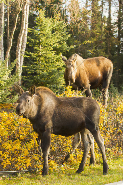 October 20, 2013: Cow Moose And Calf Browsing On Autumn Colored Foliage, Anchorage, South-central Alaska, USA