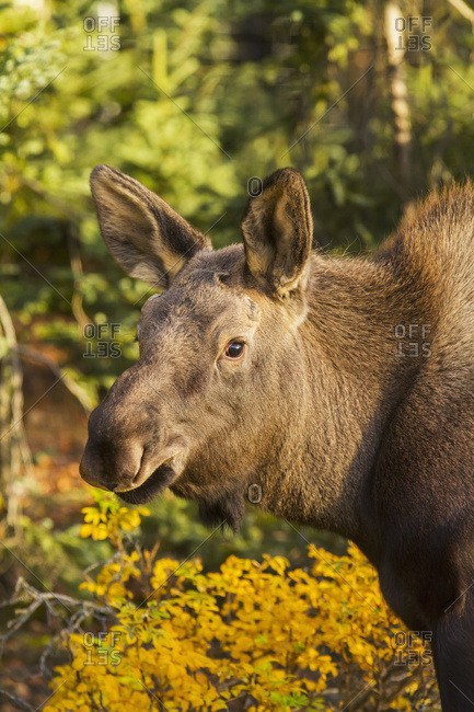 October 20, 2013: Calf Moose Feeding On Autumn Colored Foliage, Anchorage, South-central Alaska, USA