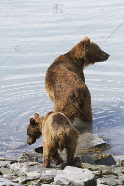 July 20, 2013: Brown Bear Sow With Four 1.5 Year Old Cub Near The Fish Hatchery, Allison Point, Valdez, South-central Alaska, USA