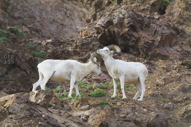 August 14, 2013: A Pair Of Full Curl Dall Sheep Rams Size Each Other Up By Gesturing, Rubbing Bodies And Butting Horns, Denali National Park & Preserve In Interior Alaska, USA