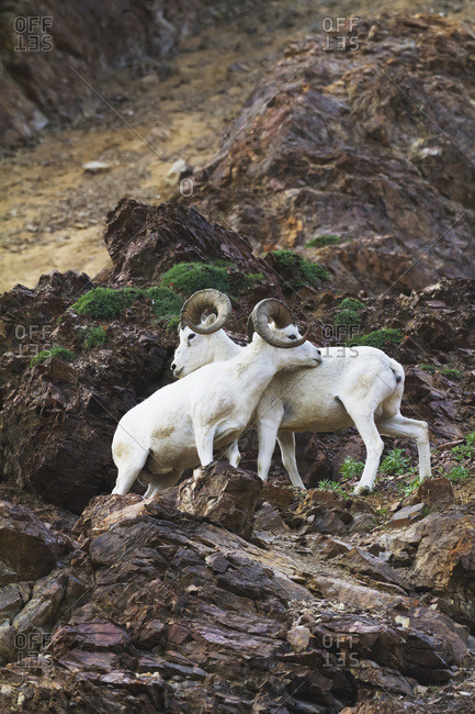 August 14, 2013: A Pair Of Full Curl Dall Sheep Rams Size Each Other Up By Gesturing, Rubbing Bodies And Butting Horns. Summer In Denali National Park & Preserve In Interior Alaska.