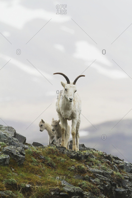 June 10, 2013: Dall Sheep Ewe And Lamb. Denali National Park & Preserve In Interior Alaska In Summer. Polychrome Pass Area Of The Park.