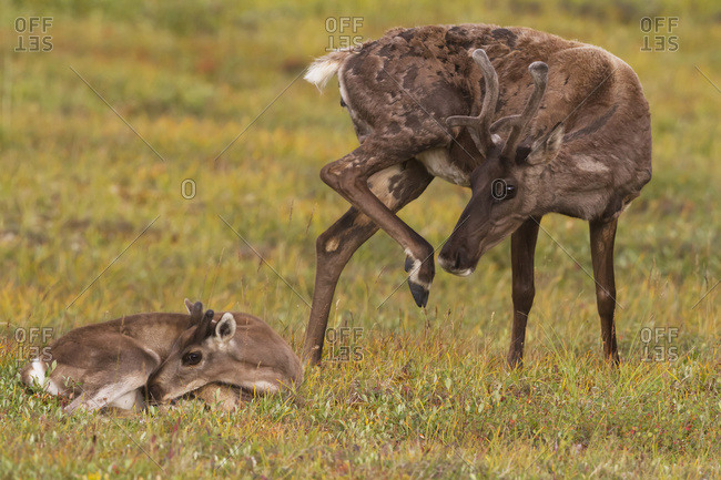 August 16, 2013: A Cow Caribou Scratches Herself While Her Calf Lays In The Tundra Next To Her. Interior Alaska In Summer. Denali National Park & Preserve.