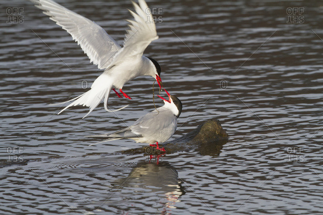 May 14, 2013: Arctic Tern At Potter Marsh Near Anchorage, One Adult Feeding Another Adult. Spring. South-central Alaska.