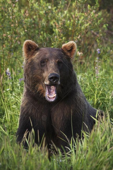July 6, 2009: Captive Female Brown Bear Alaska Wildlife Conservation Center At Portage, Alaska In Summer. South-central Alaska.