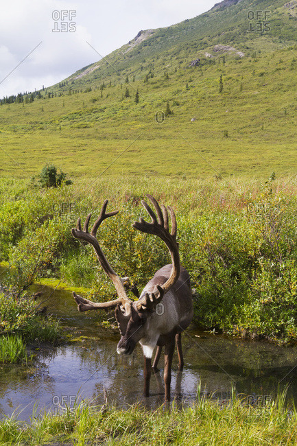 August 16, 2013: Bull Caribou Stands In A Pond Near The Savage River To Escape Insects, Denali National Park, Interior Alaska, USA