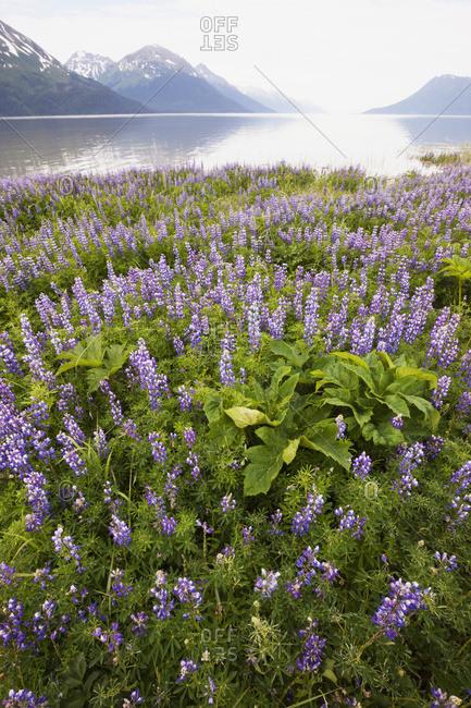 June 25, 2013: Field Of Lupine Alongside The Seward Highway (South Of Girdwood) And Alongside Turnagain Arm. South-central Alaska, Summer.